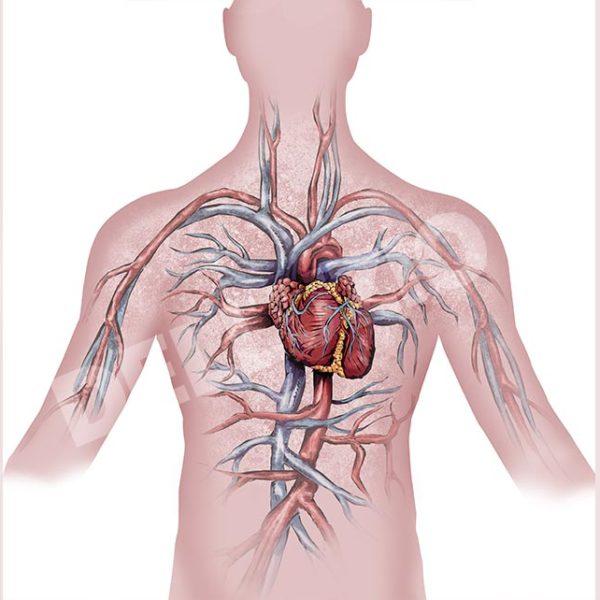 Cuore e sistema cardio circolatorio
