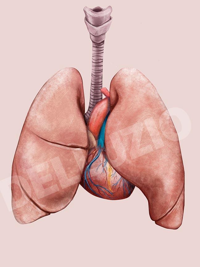 Polmoni e Cuore